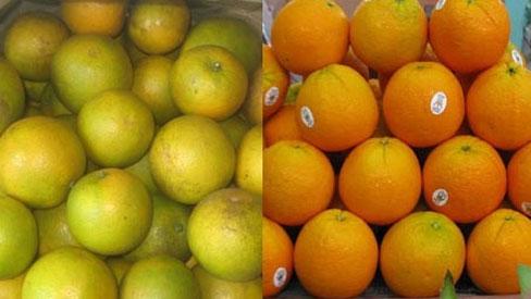 Khắp nơi cam Tàu, phân biệt đặc sản cam Vinh thế nào?