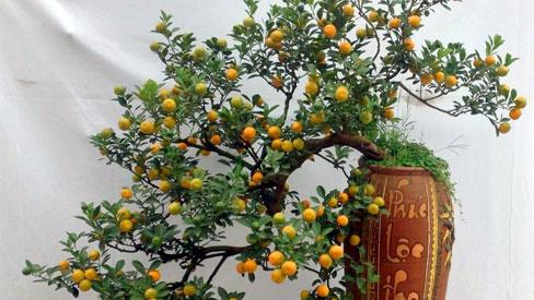 Quất cảnh bonsai