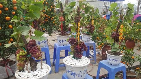 Lần đầu tiên nho Ninh Thuận được bán như loại cây cảnh chơi Tết ở Hà Nội, đắt hàng vì độc- lạ