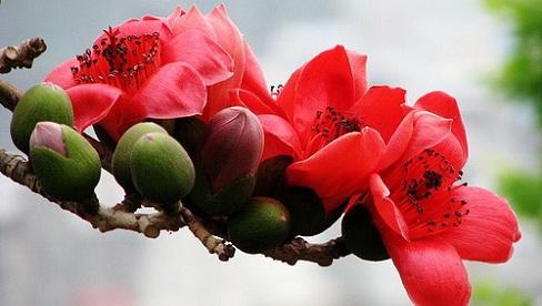 Bài thuốc dân gian chữa bệnh tiêu chảy từ hoa mộc miên