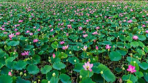 Đẹp mắt khung cảnh hàng nghìn bông sen nở bung sắc hồng ở Ninh Thuận