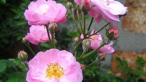 Hoa tầm xuân chữa cảm nắng, cảm nóng, chữa đái dầm ở trẻ em