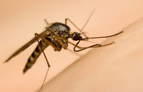 4 bệnh lây truyền do muỗi đốt-1