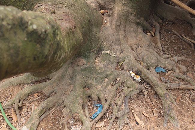 Bắc Giang: Cận cảnh cây vải tổ 39 năm cho doanh thu khủng-9
