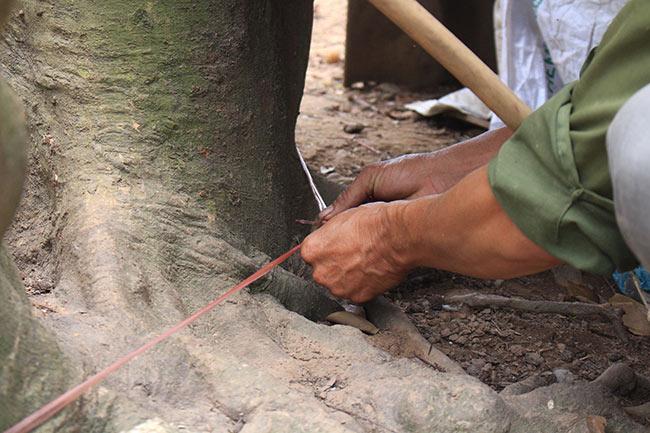 Bắc Giang: Cận cảnh cây vải tổ 39 năm cho doanh thu khủng-10