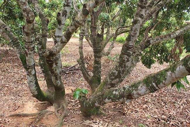 Bắc Giang: Cận cảnh cây vải tổ 39 năm cho doanh thu khủng-11