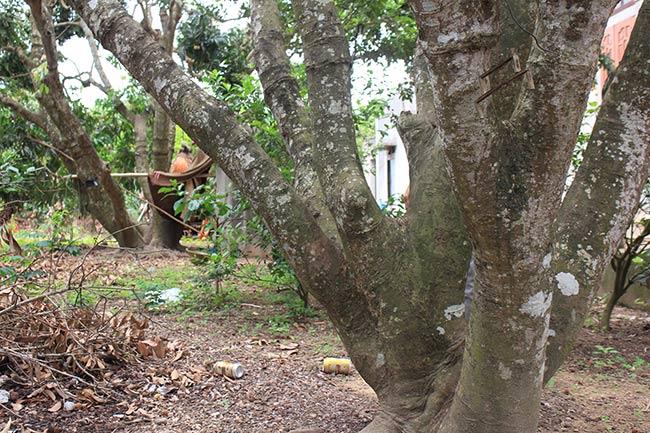 Bắc Giang: Cận cảnh cây vải tổ 39 năm cho doanh thu khủng-13