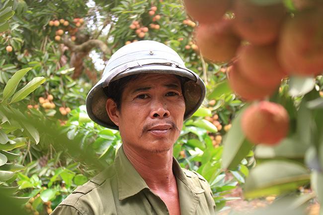 Bắc Giang: Cận cảnh cây vải tổ 39 năm cho doanh thu khủng-2