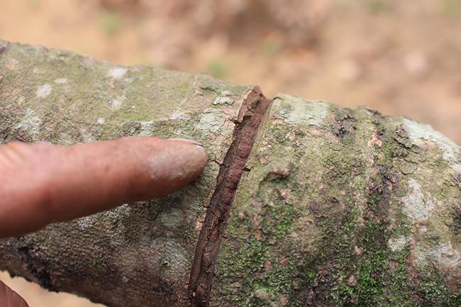 Bắc Giang: Cận cảnh cây vải tổ 39 năm cho doanh thu khủng-3