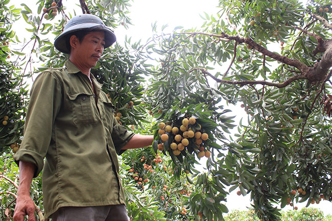 Bắc Giang: Cận cảnh cây vải tổ 39 năm cho doanh thu khủng-5