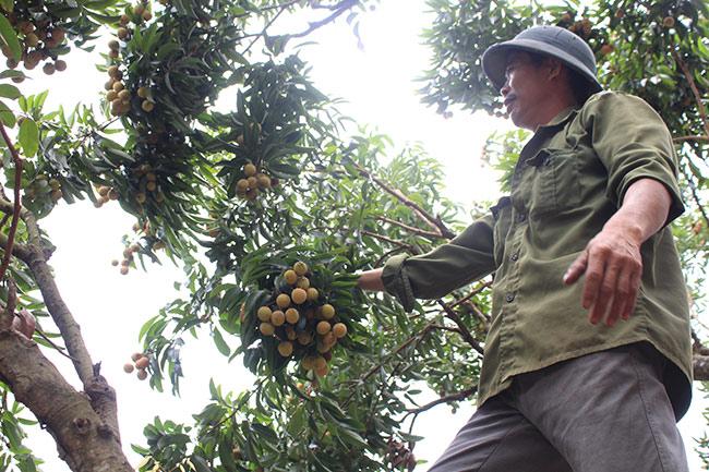 Bắc Giang: Cận cảnh cây vải tổ 39 năm cho doanh thu khủng-6