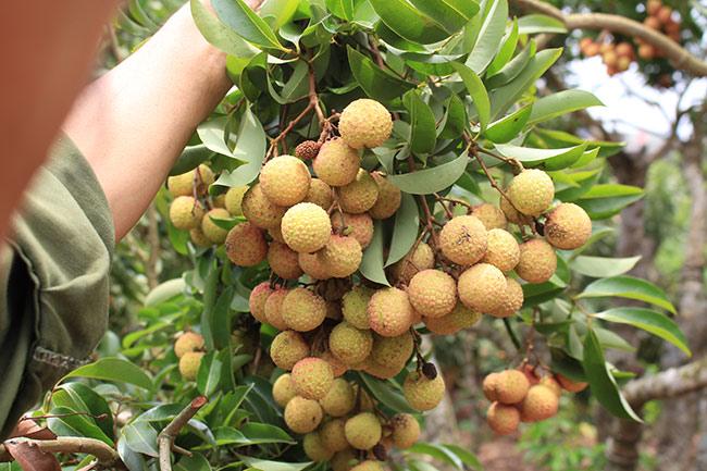 Bắc Giang: Cận cảnh cây vải tổ 39 năm cho doanh thu khủng-7