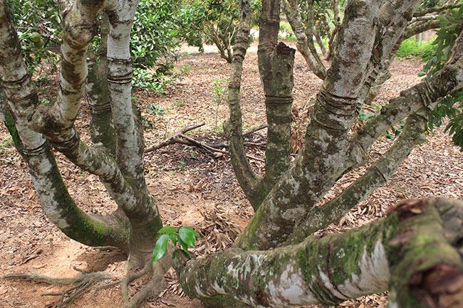 Bắc Giang: Cận cảnh cây vải tổ 39 năm cho doanh thu khủng-8
