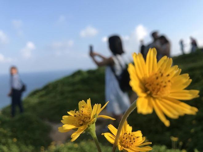 """Du khách mê mẩn Hoa vàng trên cỏ xanh"""" trên đỉnh Sơn Trà - Đà Nẵng-2"""
