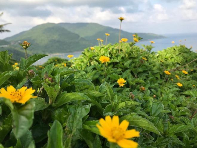"""Du khách mê mẩn Hoa vàng trên cỏ xanh"""" trên đỉnh Sơn Trà - Đà Nẵng-5"""