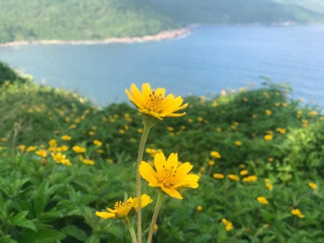 """Du khách mê mẩn Hoa vàng trên cỏ xanh"""" trên đỉnh Sơn Trà - Đà Nẵng-4"""