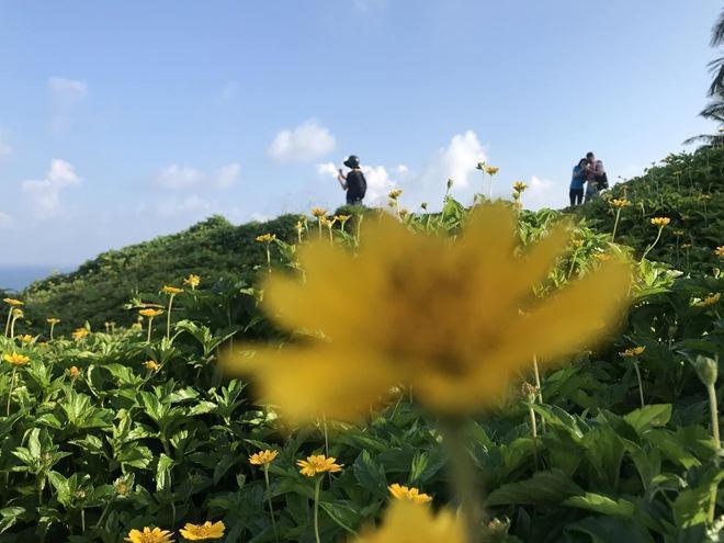 """Du khách mê mẩn Hoa vàng trên cỏ xanh"""" trên đỉnh Sơn Trà - Đà Nẵng-3"""