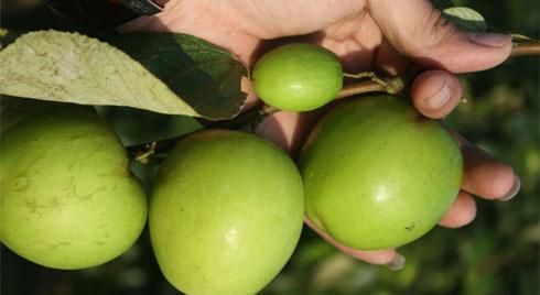 Có một loại quả  tốt hơn cả 100 lần táo đỏ: Hãy tận dụng để làm thuốc chữa bệnh, dưỡng nhan!