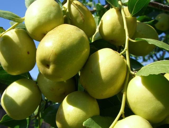 Có một loại quả  tốt hơn cả 100 lần táo đỏ: Hãy tận dụng để làm thuốc chữa bệnh, dưỡng nhan!-1