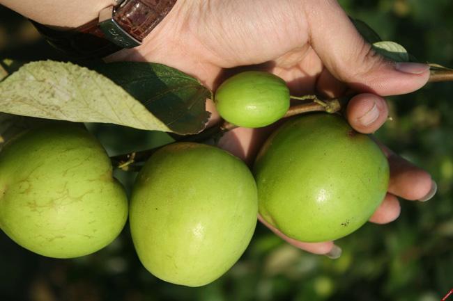 Có một loại quả  tốt hơn cả 100 lần táo đỏ: Hãy tận dụng để làm thuốc chữa bệnh, dưỡng nhan!-4
