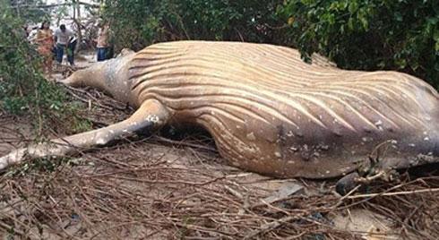 Bí ẩn cá voi khổng lồ chết giữa rừng cách bờ biển 15 mét