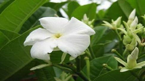 Giải độc gan từ loài cây có tên gọi cực