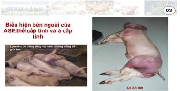 Thịt lợn nhiễm dịch tả châu Phi, người dân có nên tạm tẩy chay thịt lợn?-2
