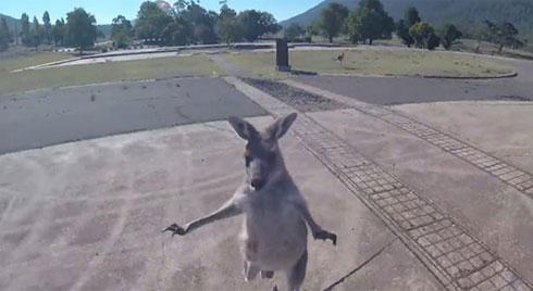 Vừa nhảy dù xuống đất, du khách bị Kangaroo chạy lại đá tới tấp