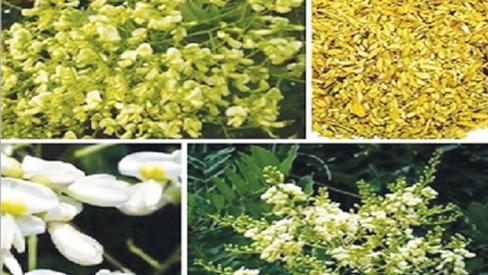 Hòe hoa hỗ trợ trị tăng huyết áp, xuất huyết