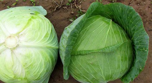 Bắp cải loài rau được ví
