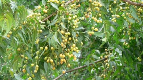 Cây sầu đâu rừng có tác dụng gì trong Đông y?