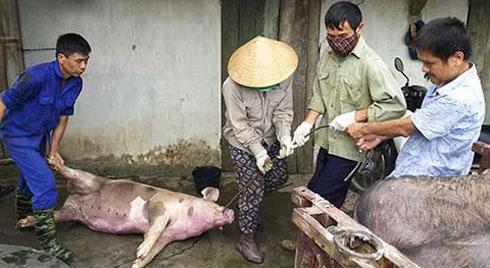 Nóng: Dịch tả lợn châu Phi đã xuất hiện tại Đồng bằng sông Cửu Long