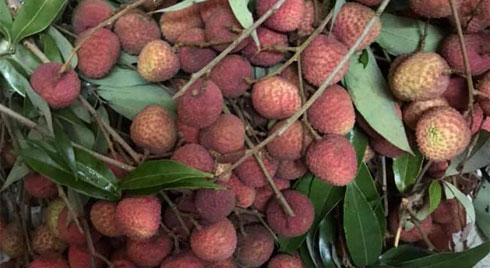 Vải đầu mùa siêu rẻ chỉ 25 nghìn đồng/kg: Cách chọn quả ngon, không sâu đầu