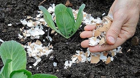 Lỡ tay đổ nước luộc trứng lên đất trồng cây, sáng ra ai cũng ngỡ ngàng khi thấy thành quả