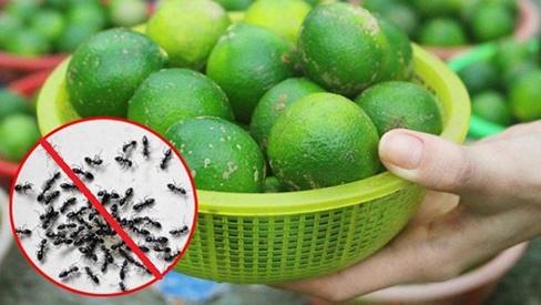Dùng 1 quả chanh theo cách này, cả đàn kiến cũng bị đuổi sạch không dấu vết, không bao giờ dám quay lại