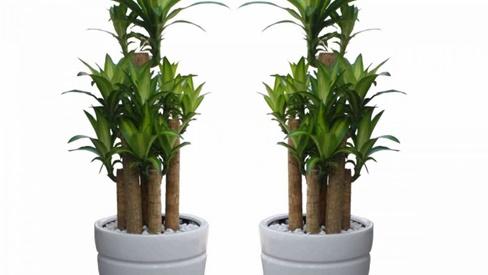5 loại cây 'ăn tiền thiên hạ': Sáng đặt phòng khách- chiều thần tài đẩy lộc về tận cửa, hưởng no nê phúc phần