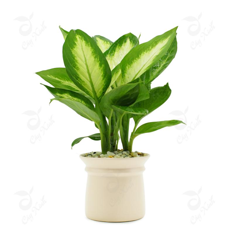 5 loại cây ăn tiền thiên hạ: Sáng đặt phòng khách- chiều thần tài đẩy lộc về tận cửa, hưởng no nê phúc phần-1