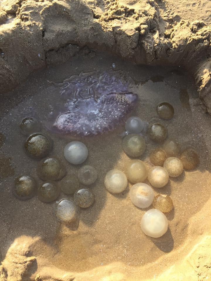 Bãi tắm ở Vũng Tàu xuất hiện nhiều sứa lửa, mùa này đi biển có gặp thì nhớ bỏ túi loạt bí kíp này nhé!-7