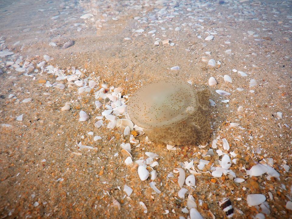 Bãi tắm ở Vũng Tàu xuất hiện nhiều sứa lửa, mùa này đi biển có gặp thì nhớ bỏ túi loạt bí kíp này nhé!-6