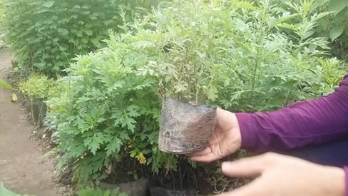 Mùa hè mẹ cứ trồng loại rau này trong vườn vừa giúp đuổi muỗi lại vô cùng bổ dưỡng