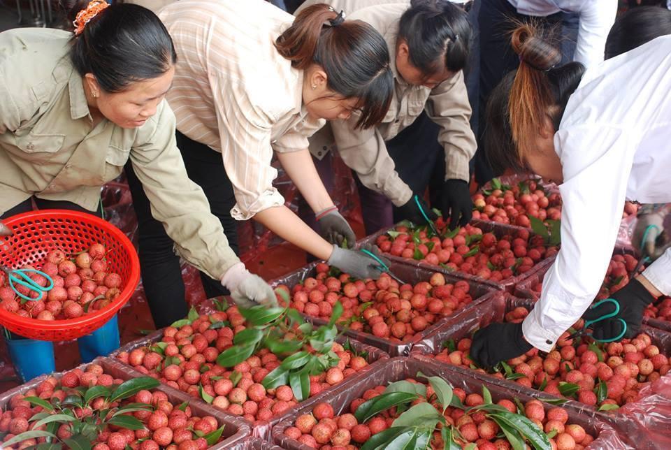 260 chủ vựa Trung Quốc tranh mua, vải thiều Bắc Giang giá cao kỷ lục-1