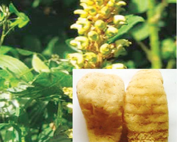 Thiên ma trị phong thấp, hoa mắt chóng mặt-1