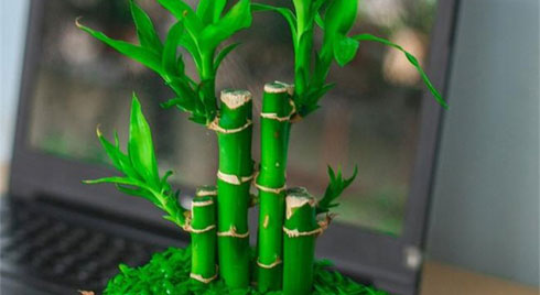 12 con giáp cứ trồng cây phong thủy này để hút vận may, gia tăng lộc khí, gọi lộc về nhà