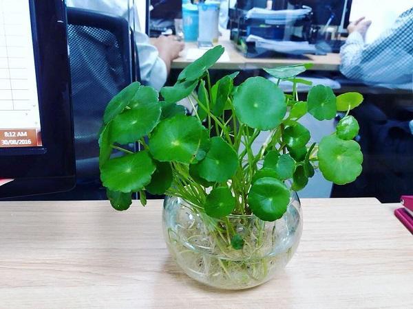 12 con giáp cứ trồng cây phong thủy này để hút vận may, gia tăng lộc khí, gọi lộc về nhà-3