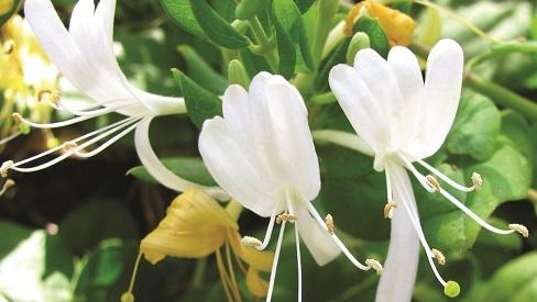 Kim ngân: Hoa đẹp giải nhiệt