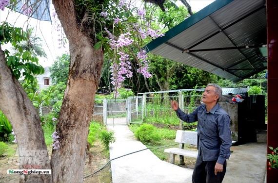 Vườn lan phi điệp tím cổ thụ tiền tỷ nghìn vòi bung nở ở Tuyên Quang-1
