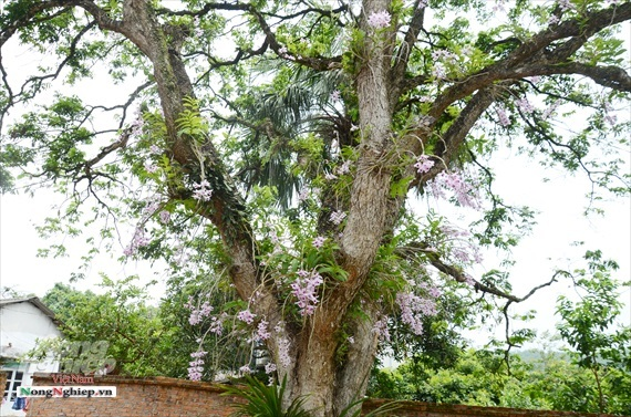 Vườn lan phi điệp tím cổ thụ tiền tỷ nghìn vòi bung nở ở Tuyên Quang-2