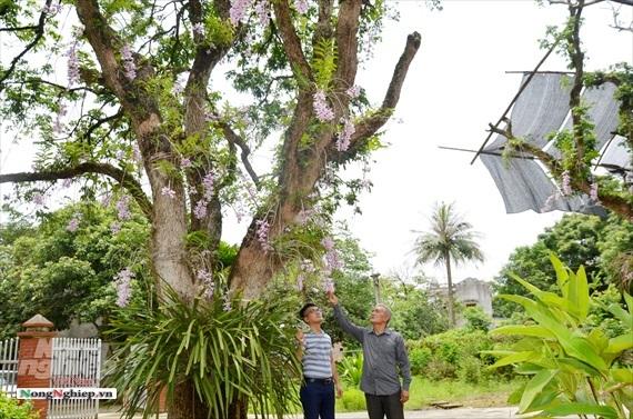Vườn lan phi điệp tím cổ thụ tiền tỷ nghìn vòi bung nở ở Tuyên Quang-7