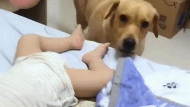 Chó đắp chăn cho em bé thật đáng yêu