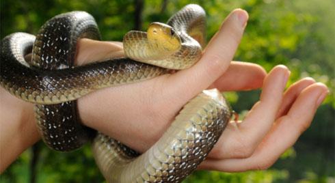 Cách sơ cứu khi bị rắn cắn để tránh biến chứng